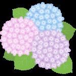 【梅雨のイラスト】紫陽花(あじさい)の花